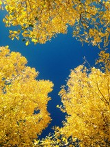 yellow fall leaves against a blue sky