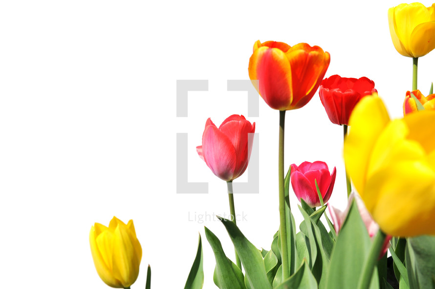 tulips against a white background