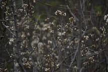 white spring blossoms