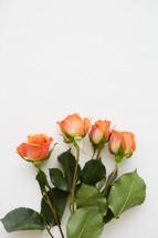 orange roses on a white background