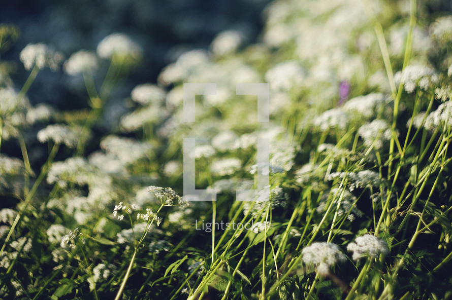 white flowers in a meadow