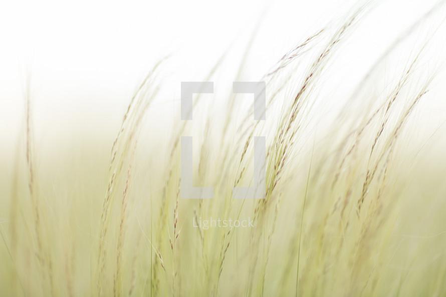 wheat in fog