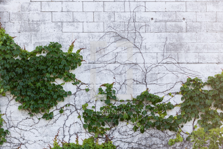 vines on a white wall