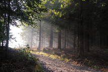 sunbeams shining into a forest