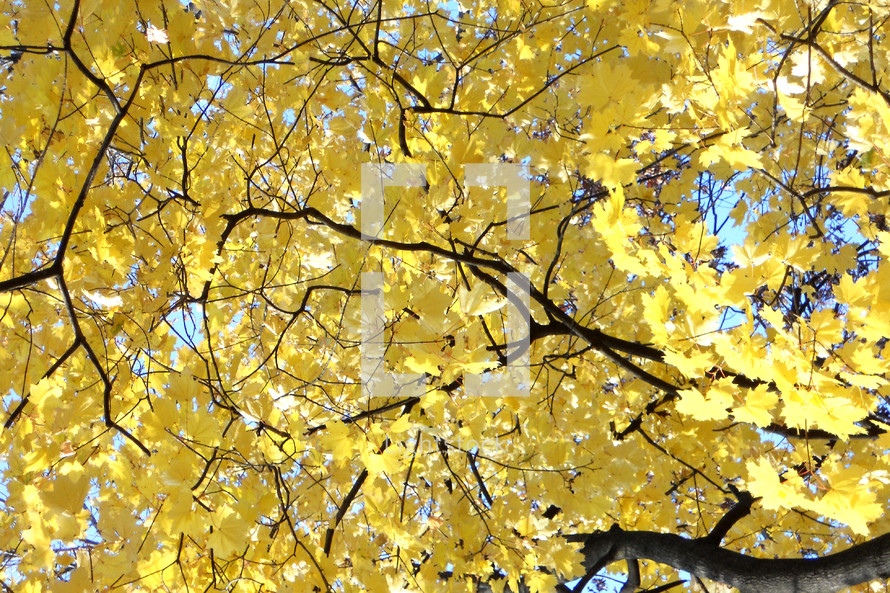 Golden maple leaves in autumn.