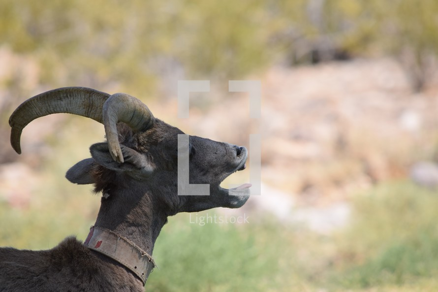 Big horn sheep Hemenway Valley Park, Boulder City, Nevada
