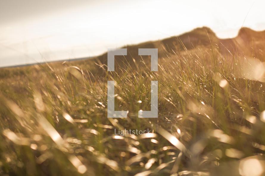 field of grains