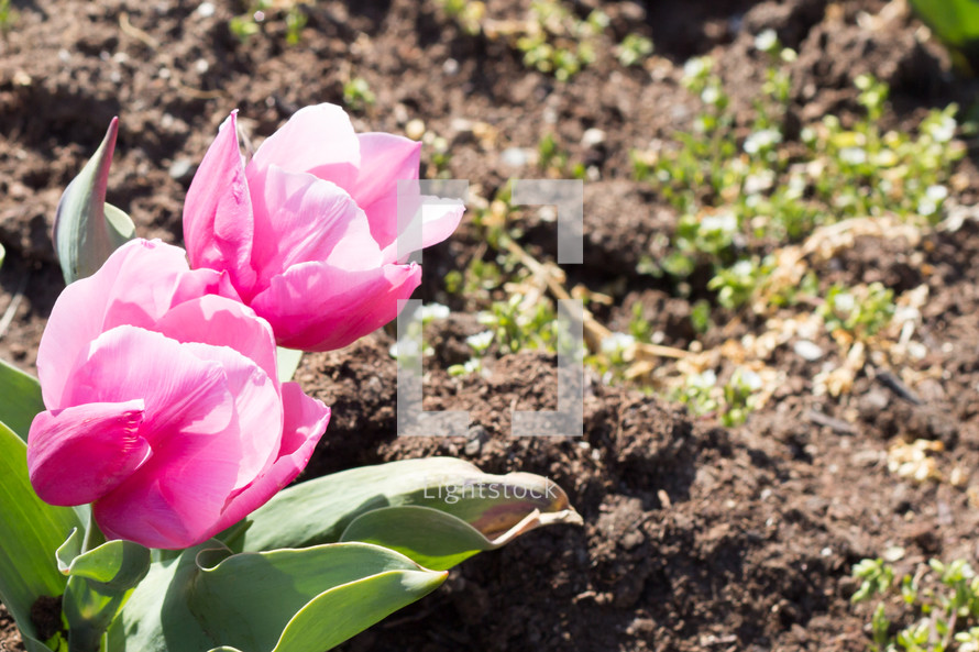 pink tulips and dirt