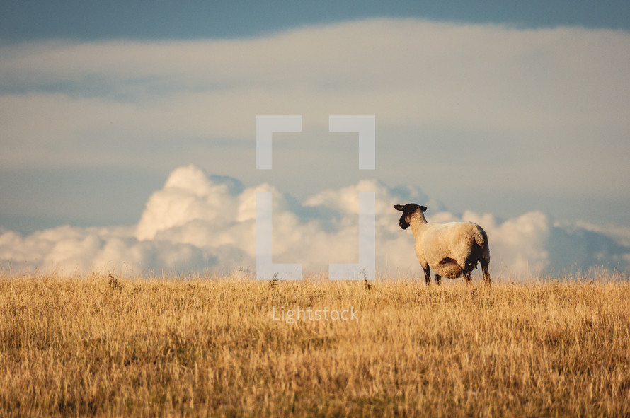 sheep in the clouds