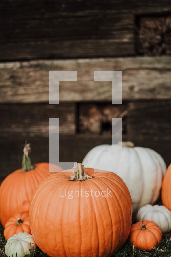 orange and white pumpkins
