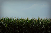 corn stalks in a field