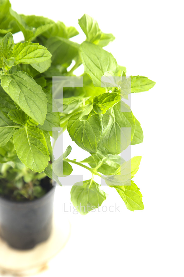 mint plant on a white background