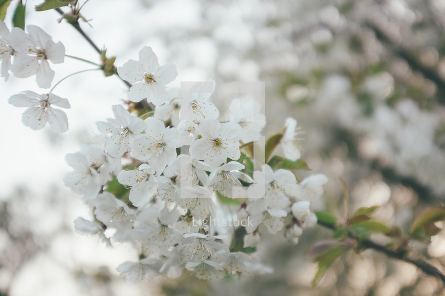 White spring blossoms on a tree