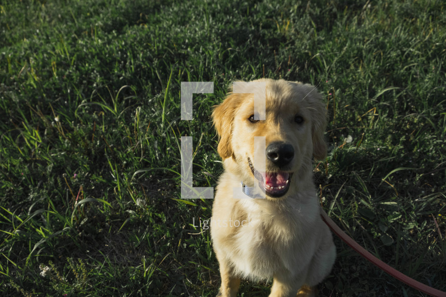 golden retriever puppy in grass