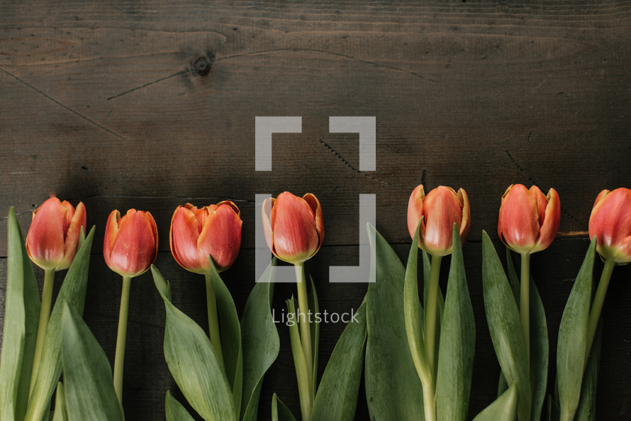 row of tulips on a wood background