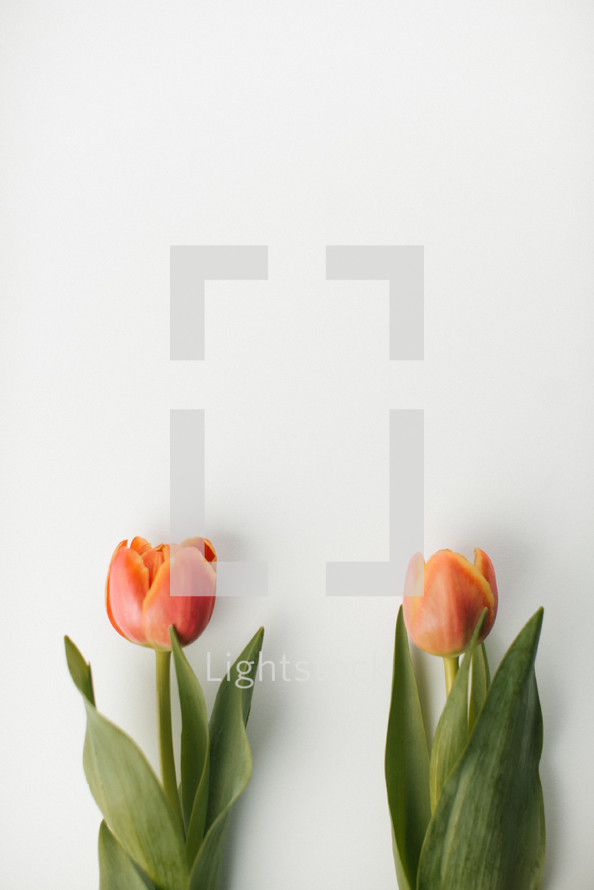 two tulips on a white background