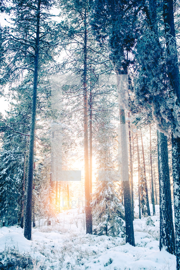 winter trees in a forest
