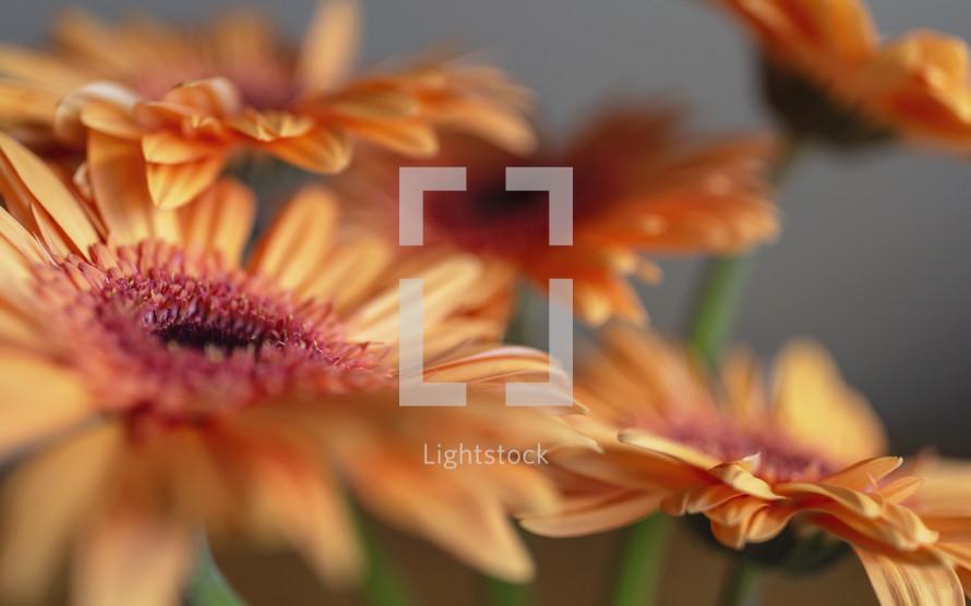 orange gerber daisies