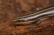 Striped salamander.
