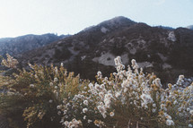 fuzzy white flowers on a mountaintop