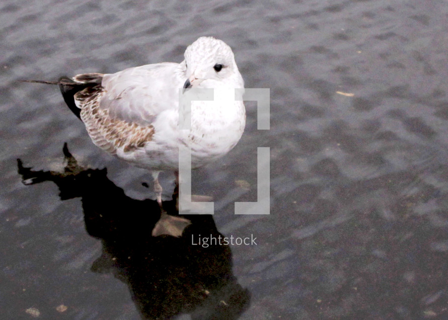 Seagull foraging for french fries after a rainstorm.