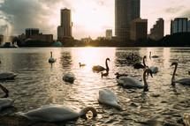 swans on Lake Eola at sunset