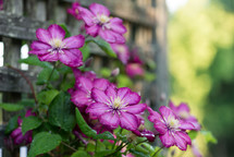 purple flowers on a vine