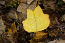 water droplets on a fall leaf
