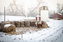 horses eating hay in the snow