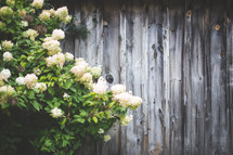 Flowering bush by a wooden fence.