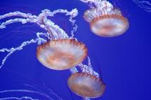jellyfish in the ocean