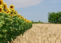 Fields of wheat and sunflowers