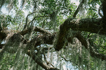 spanish moss on a tree branch