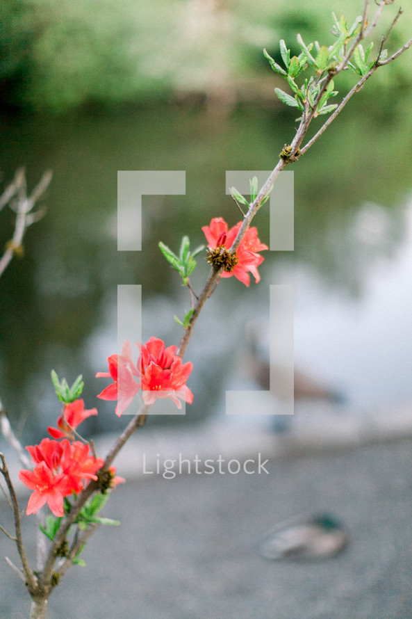 red flowers on a spring bush