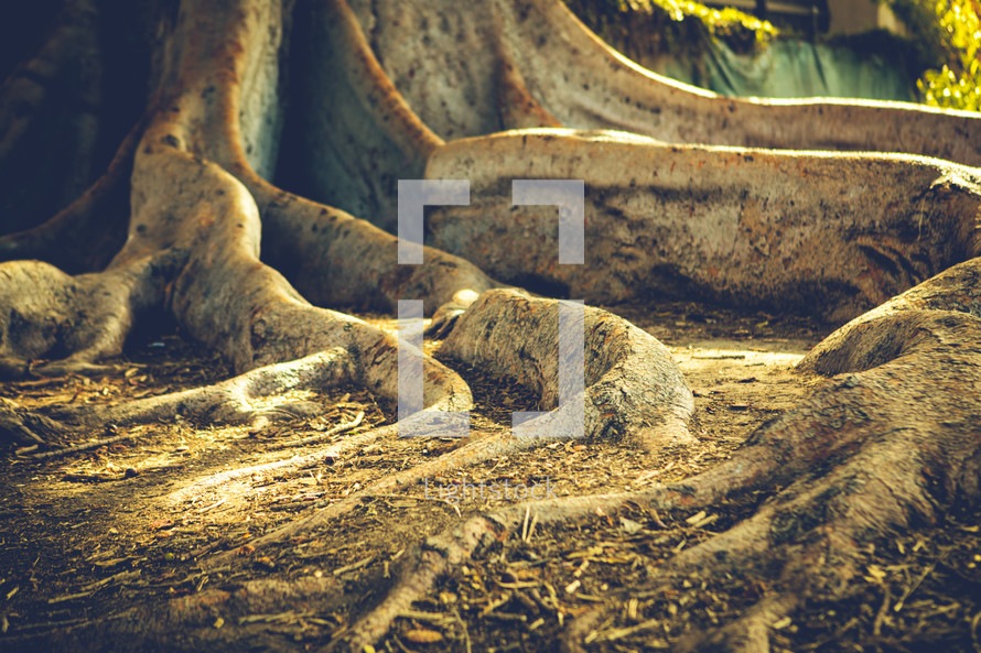 Large tree roots grounded in soil