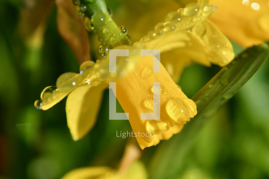 wet yellow daffodil in spring