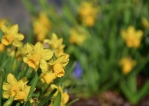 yellow spring daffodils in a flower garden