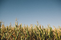 field of corn and blue sky