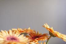 yellow gerber daisies