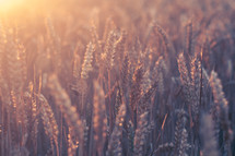 golden rays of sunlight on wheat