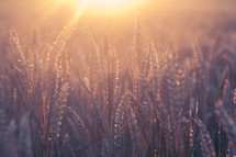 golden rays of light on wheat