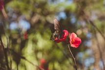 pipeline butterfly on a red flower