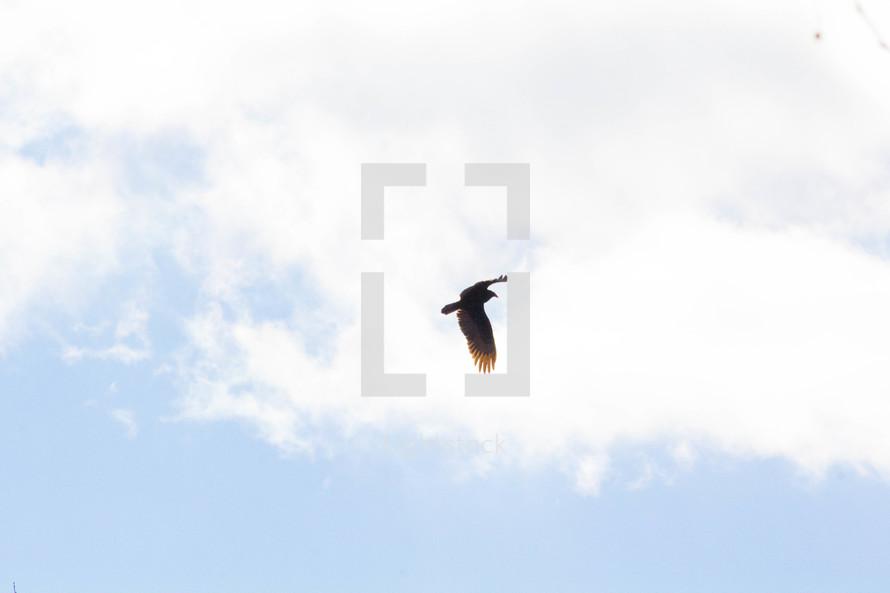 eagle in flight