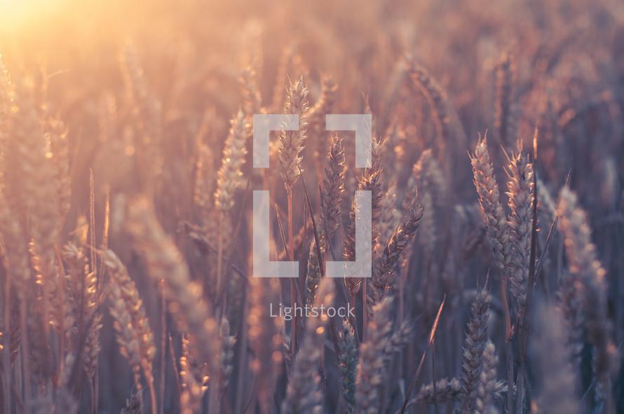 golden rays of sunlight on wheat