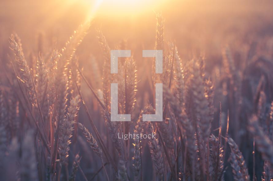 golden rays of light on wheat