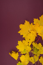 yellow leaves on a maroon background
