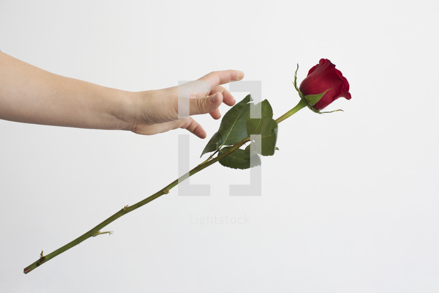 dropping a red rose