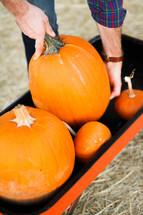 man putting pumpkins in a wagon