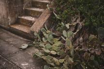 Cactus growing next to stone steps.