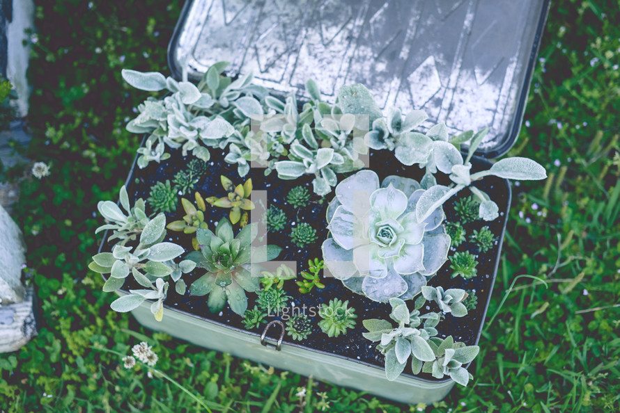 succulent plants in a tin box